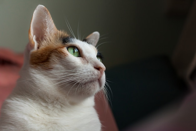 Il gatto calico stava fissando qualcosa fuori