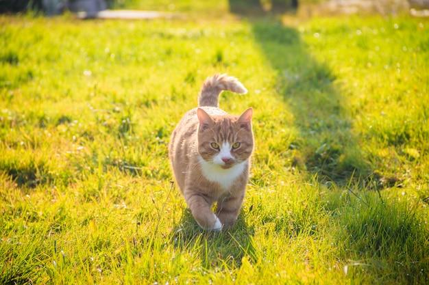 Il gatto cammina sull'erba. nursling. erba verde.