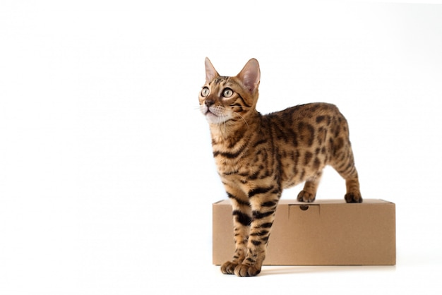 Il gatto del bengala si leva in piedi su una scatola di cartone marrone di kraft per i pacchetti su una priorità bassa isolata bianca