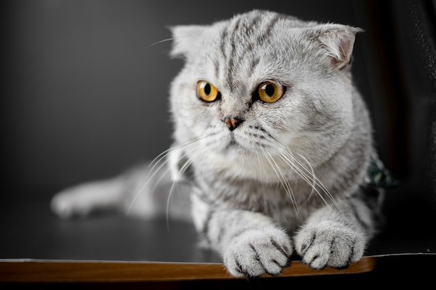 Il gatto del popolare scozzese è tozzo sul tavolo.