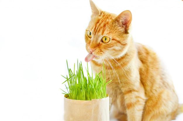 Il gatto dello zenzero mangia l'erba su una priorità bassa bianca isolata