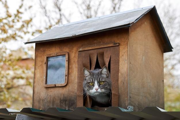 Il gatto domestico affamato grigio si siede in una casa di legno e sembra irosamente fuori