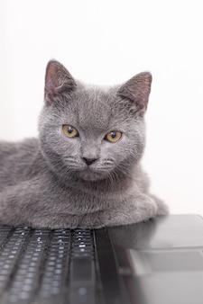Il gatto giace sul portatile. lavorando su un computer. razza britannica.