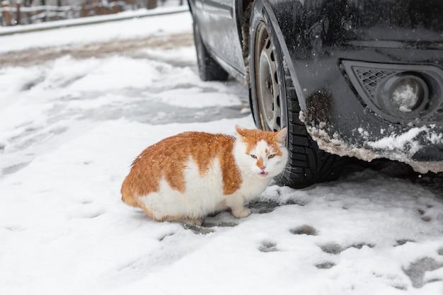 Il gatto grasso bianco-rosso cammina nella neve nel cortile vicino all'automobile