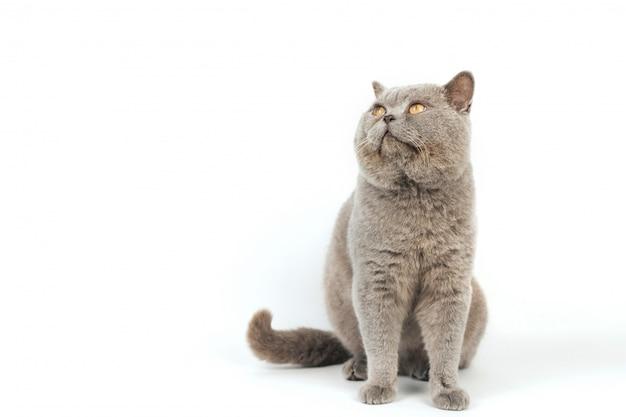 Il gatto grigio insolente con gli occhi gialli si siede e cerca su un fondo bianco.