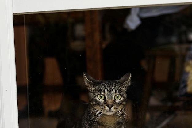 Il gatto grigio spaventato con gli occhi verdi si siede prima della finestra