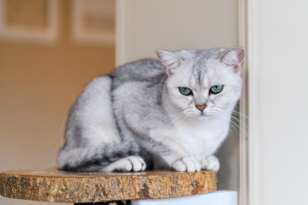 Il gatto grigio sveglio del popolare dello scottish si siede sul piatto di legno