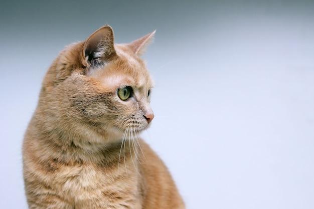 Il gatto rosso distoglie lo sguardo con concentrazione.
