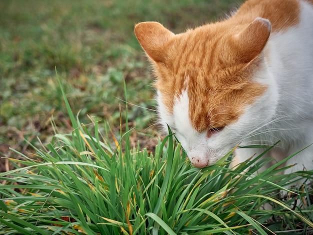 Il gatto rosso mangia l'erba verde.