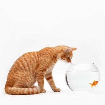 Il gatto rosso sveglio gioca con un pesce decorativo dell'oro in un acquario rotondo.
