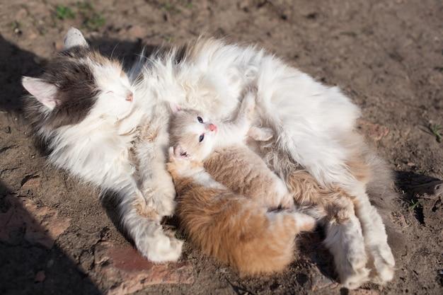 Il gatto rustico nutre il latte dal loro gattino.