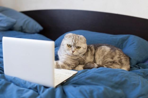 Il gatto scottish fold si trova vicino al laptop e appoggia la zampa sulla tastiera