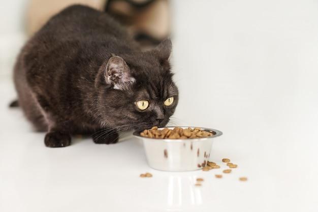 Il gatto scozzese marrone sveglio mangia l'alimento secco sul pavimento della cucina, primo piano