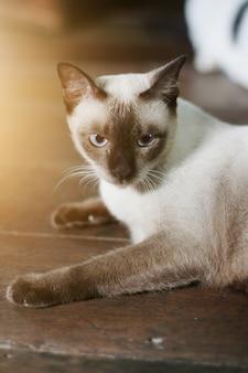 Il gatto siamese gode e si rilassa sul pavimento di legno