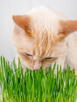 Il gatto sta mangiando l'erba verde fresca. erba di gatto, erba da compagnia. trattamento naturale per capelli, bianco, gatto rosso che mangia erba fresca, avena verde, emotivamente, copia spazio, il concetto di salute degli animali domestici