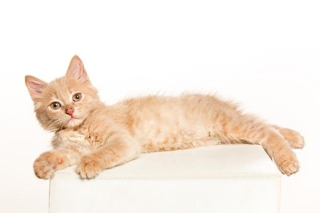 Il gatto su uno spazio bianco
