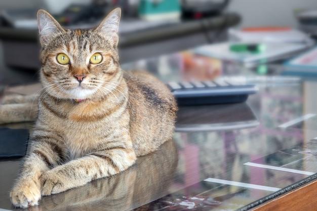 Il gatto sveglio adulto grigio sembra sorpreso con i grandi occhi. avvicinamento. seduto su una scrivania in ufficio
