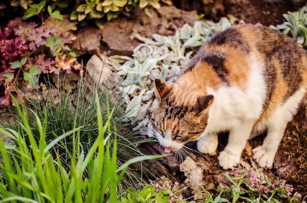 Il gatto tricolore lecca con la lingua saporita o il gatto di calicò si siede nel giardino
