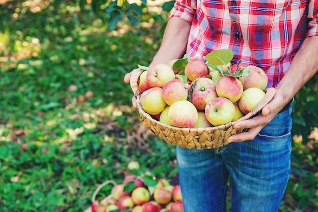 Il giardiniere dell'uomo raccoglie le mele nel giardino nel giardino.