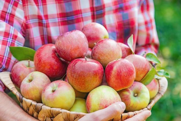 Il giardiniere dell'uomo raccoglie le mele nel giardino nel giardino