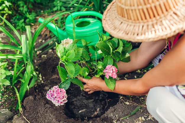 Il giardiniere della donna che trapianta l'ortensia fiorisce dal vaso in terreno bagnato