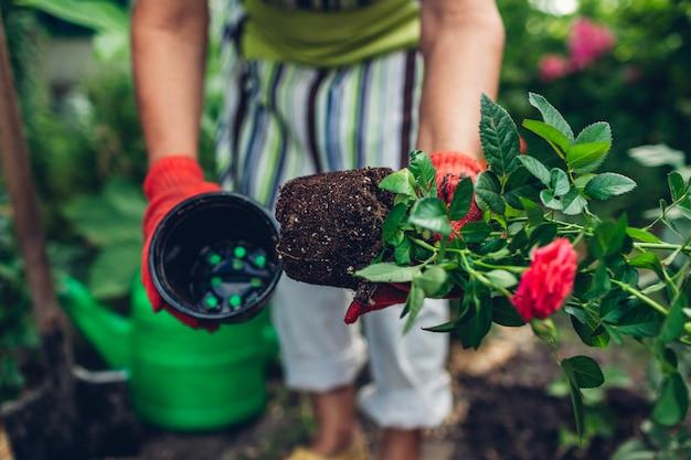 Il giardiniere della donna che trapianta le rose fiorisce dal vaso in terreno bagnato. lavori estivi in giardino.
