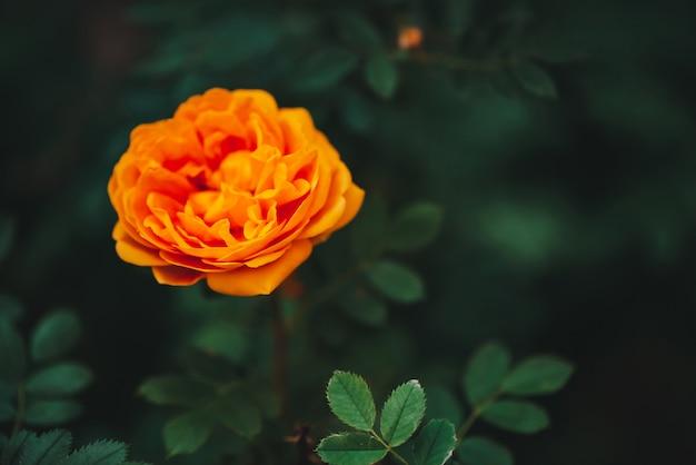 Il giardino arancio è aumentato su fondo verde con lo spazio della copia