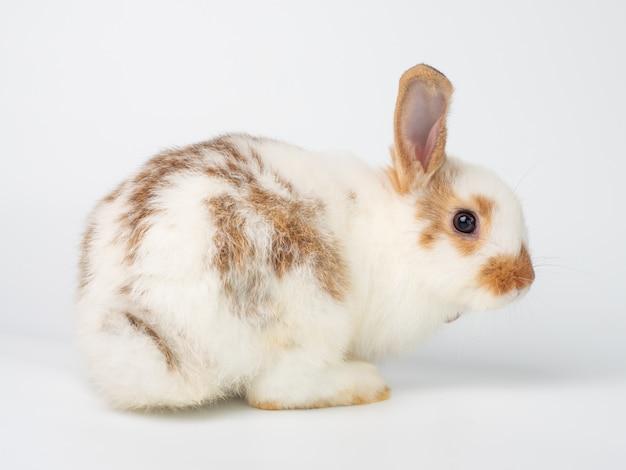 Il giovane coniglio bianco e carino recita per tornare indietro