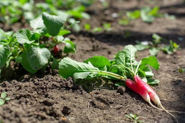 Il giovane ravanello fresco scavato si trova sulla terra in un orto.
