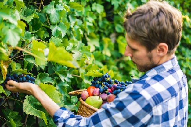 Il giovane uomo barbuto raccoglie il raccolto del vino dell'uva in vigna su un'azienda agricola di stagione estiva