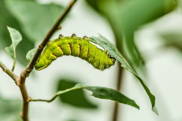 Il grande bruco verde su una foglia