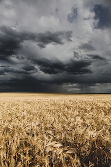 Il grano dorato ha depositato e nuvole di pioggia sopra di esso