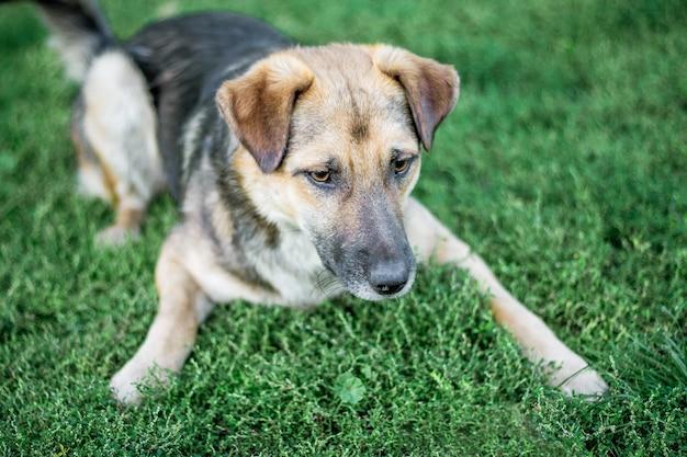 Il grosso cane si sdraia sull'erba e protegge la fattoria
