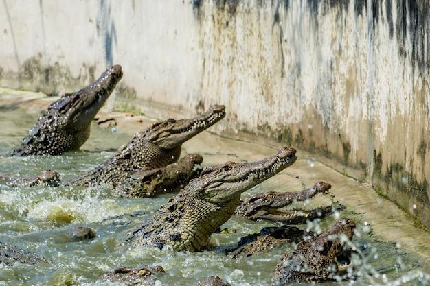 Il gruppo di coccodrillo mangia un pollo nello stagno