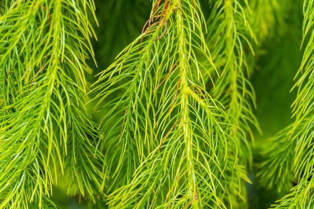 Il gruppo di foglie verdi che forma sembra foglie di un pino