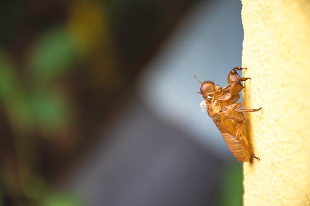 Il guscio della cicala versa la loro pelle sul muro giallo sfondo sfocato.