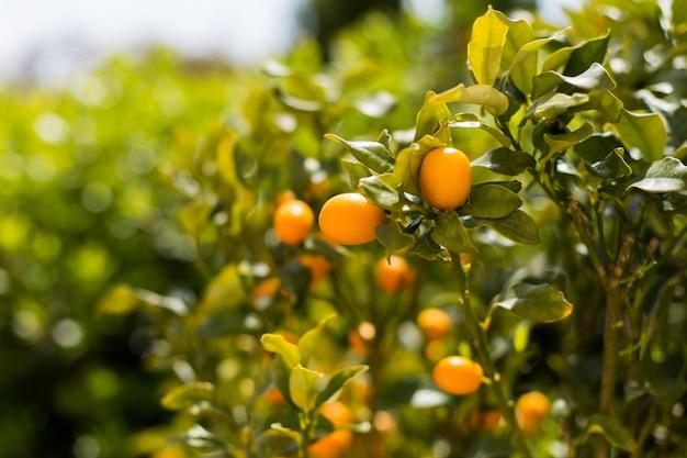 Il kumquat fruttifica sull'albero contro fondo vago