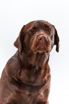 Il labrador retriever marrone su bianco