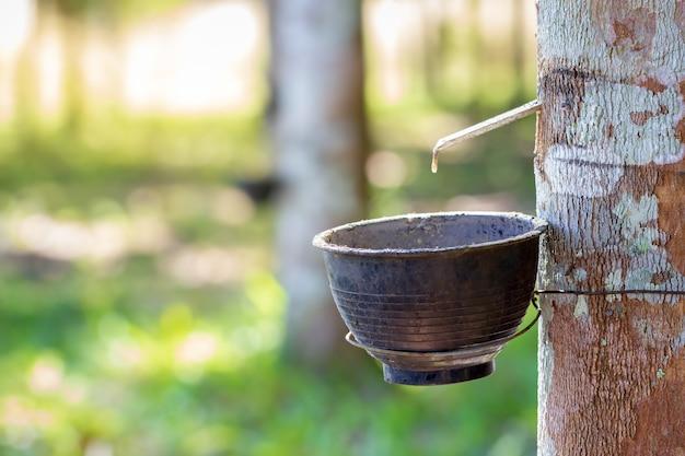 Il lattice di gomma scorre giù dall'albero nella ciotola e nella luce solare del mattino.