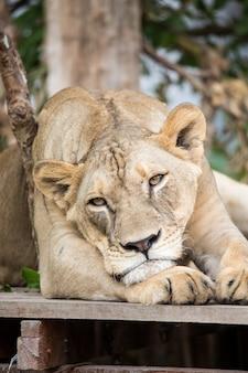 Il leone nello zoo