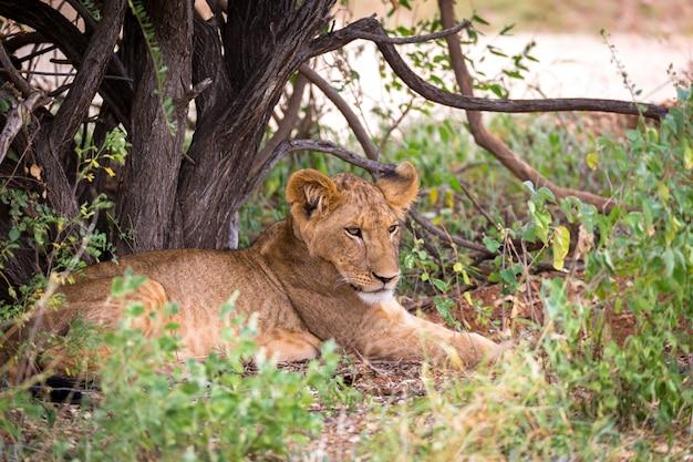Il leone riposa nell'erba della savana