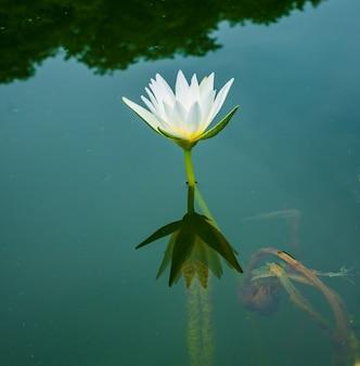 Il loto bianco sta fiorendo meravigliosamente.