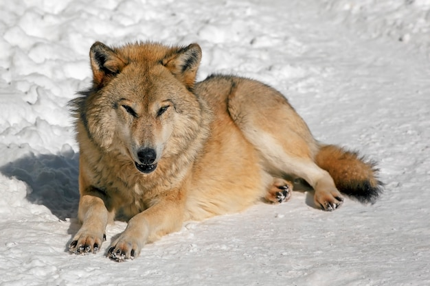 Il lupo solitario con uno sguardo predatore giace sulla neve in inverno, un ghigno malvagio di un grande lupo in inverno