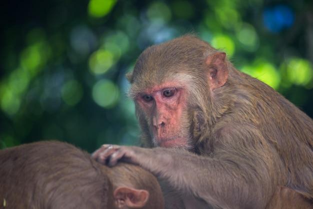 Il macaco rhesus