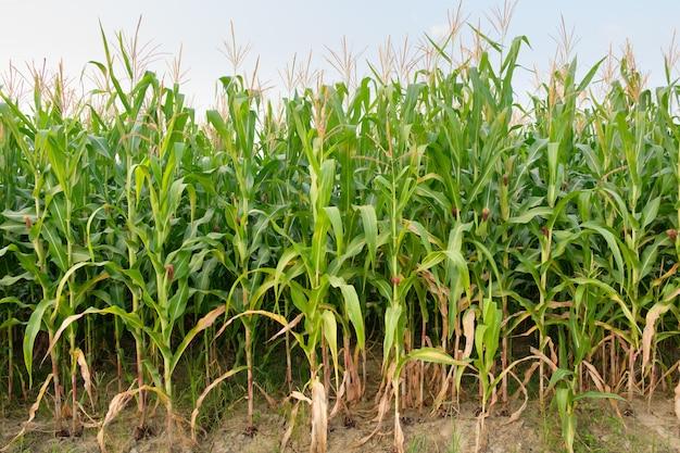 Il mais non è completamente coltivato in fattoria, campo di mais in campagna