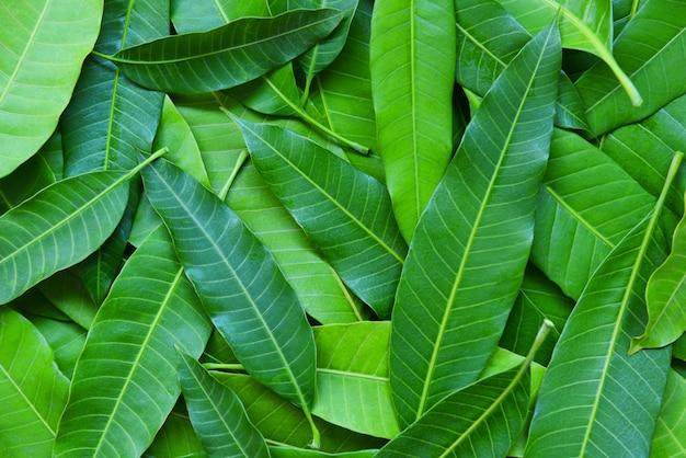 Il mango va dall'albero, vista superiore - fondo senza cuciture verde di struttura della foglia del mango