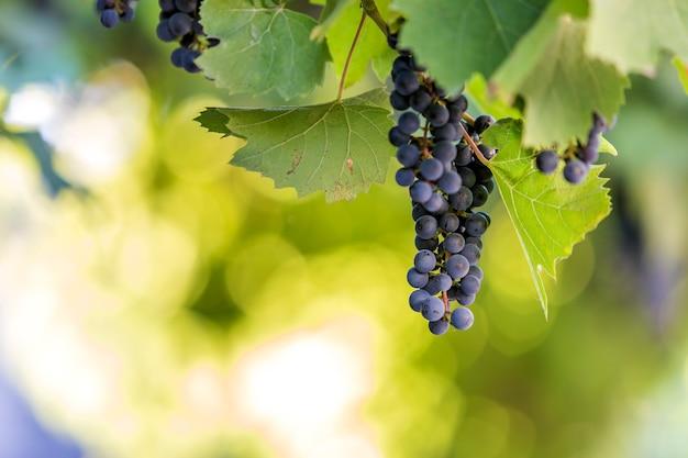 Il mazzo d'uva di maturazione blu scuro si è acceso dal sole luminoso sul fondo variopinto vago dello spazio della copia del bokeh.