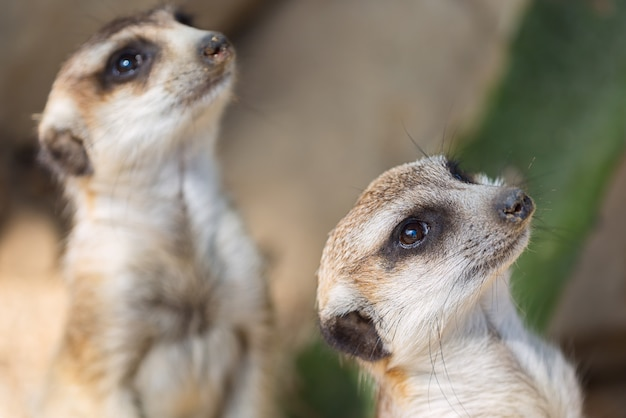 Il meerkat o suricate suricata suricatta.