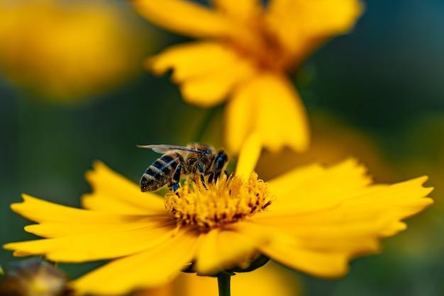Il miele delle api raccoglie il polline su un fiore giallo brillante