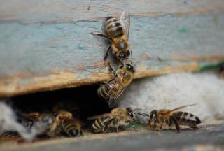 Il miele le api